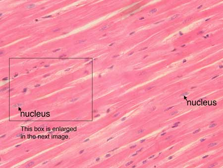 human muscle cell line – lickclick, Muscles